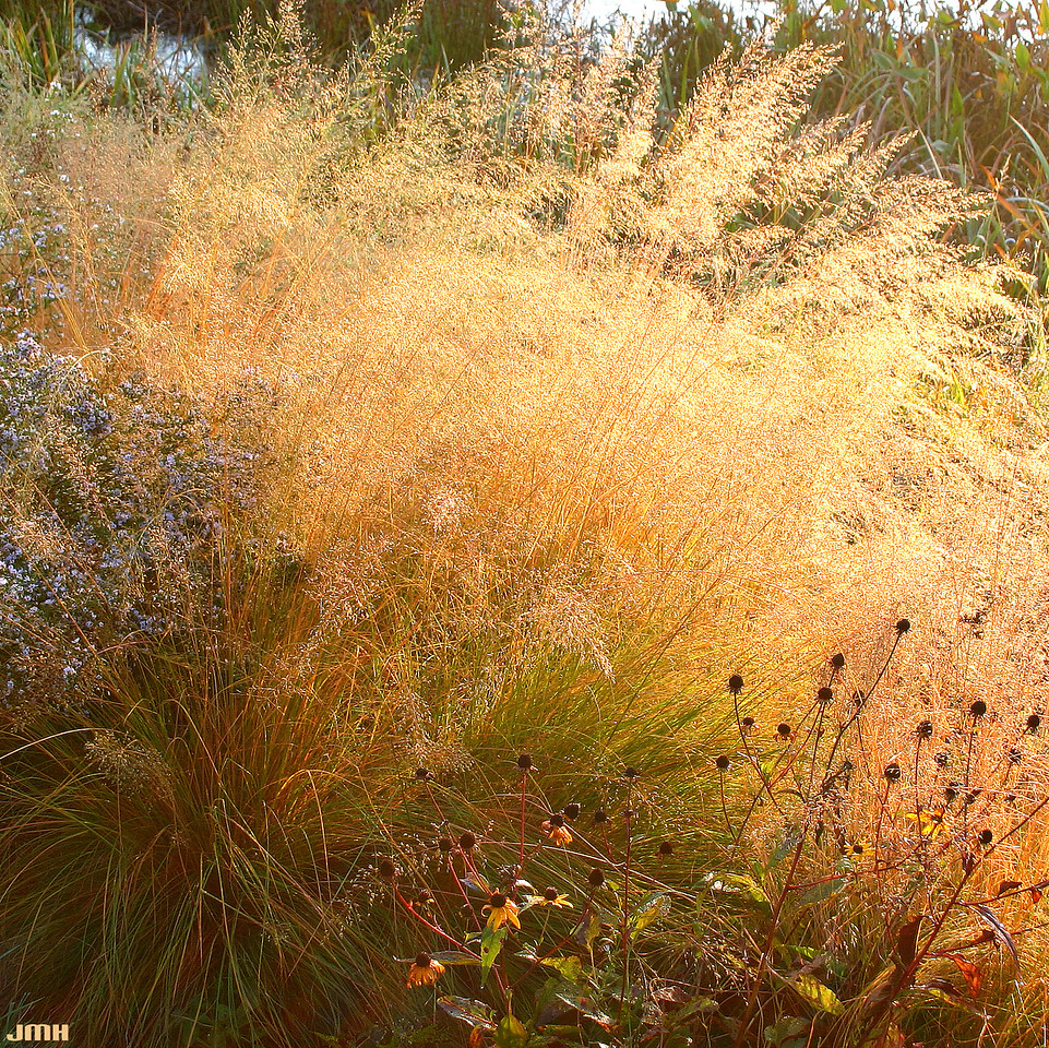 Prairie dropseed 5