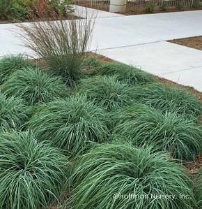Carex flacca (Blue Green Sedge) 2