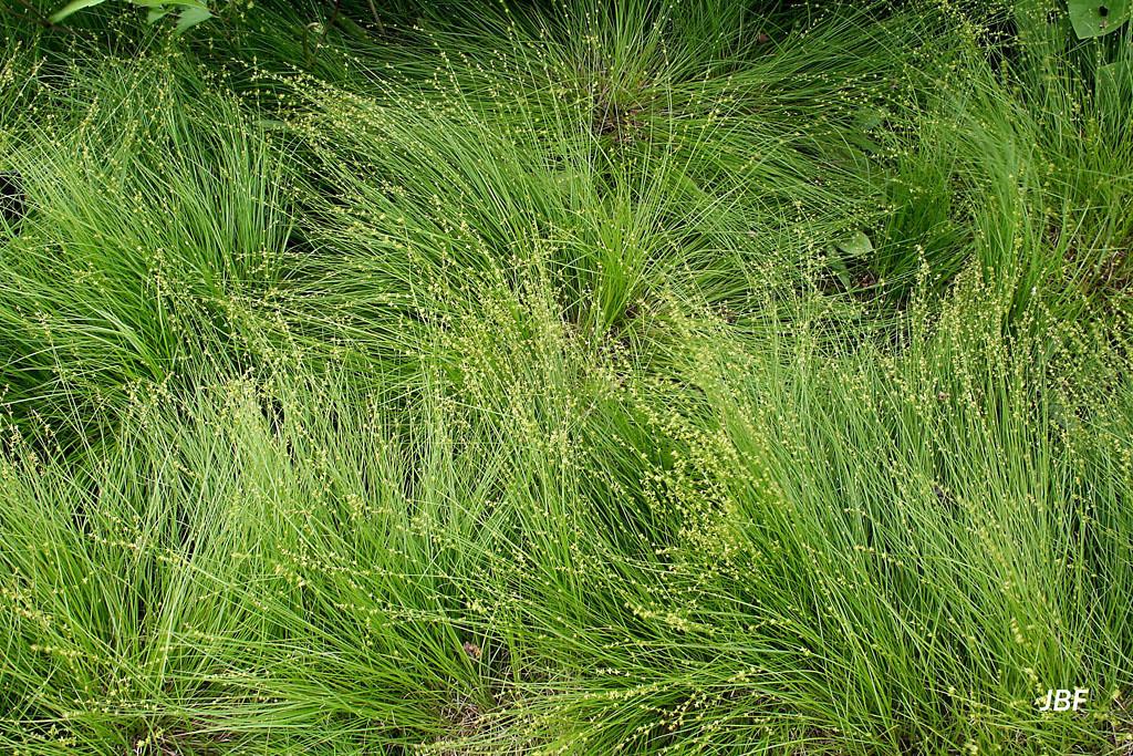 Carex radiata 1