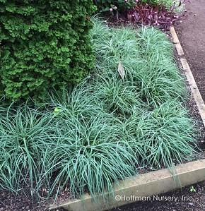 Carex flacca Blue Zinger (Blue Green Sedge) 1