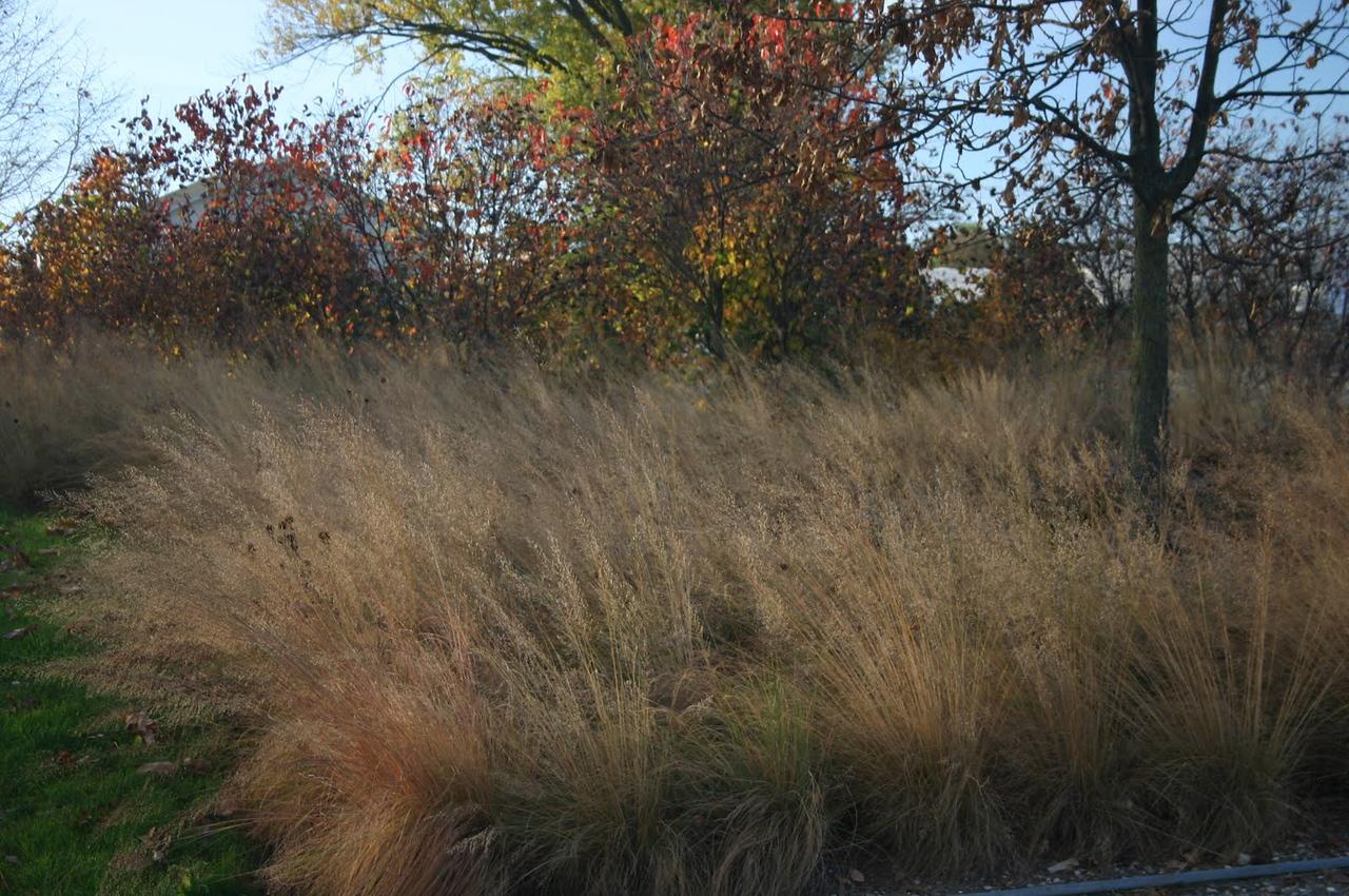 Prairie dropseed 4