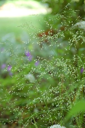 Tufted hair grass 3