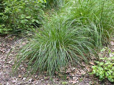 Tufted hair grass 1