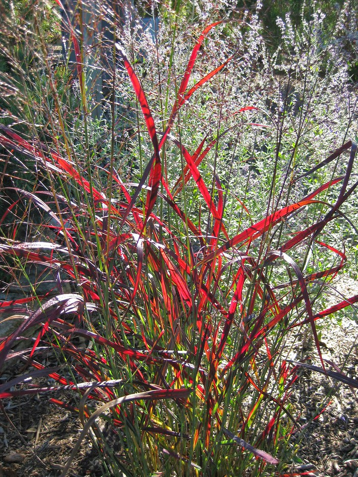 Panicum Ruby Ribbons 2
