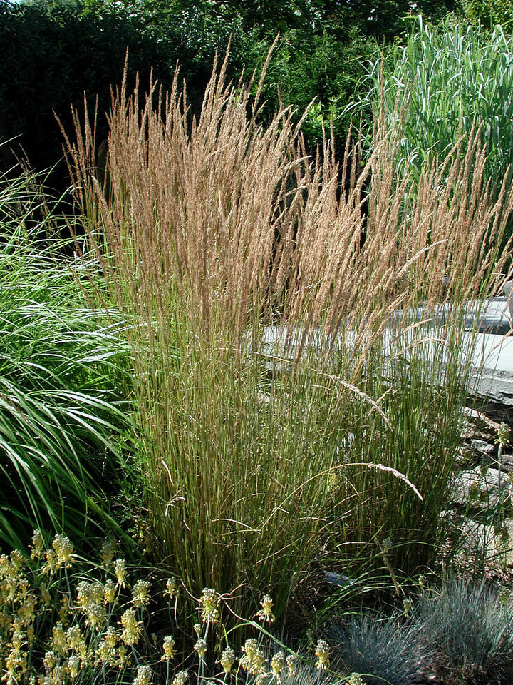 Feather reed grass Overdam 1