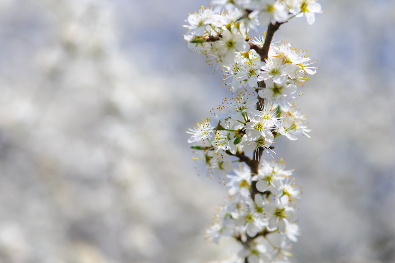 Schlehe, Prunus spinosa, Blüten, Frühling