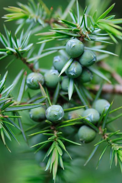 Wacholder, Juniperus communis, Botanischer Garten, Tübingen, Deutschland