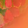 Blätter der Zaubernuss, Hamamelis x intermedia, Herbstlaub, Insel Mainau, Bodensee, Deutschland, leaves of Witch-hazel, Germany