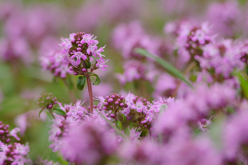 flowering thyme, Thymus spec., Tuscany, Italy, blühender Thymian, Toskana, Italien, Toskana