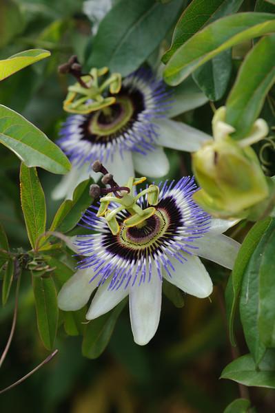 Blüten der Passionsblume, Passiflora, Insel Elba, Toskana, Italien