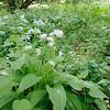 Bärlauch, Allium ursinum, NSG Listhof, Reutlingen, Deutschland, Listhof, Reutlingen, Baden-Württemberg, Deutschland