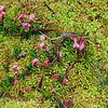 Kahnblättriges Torfmoos, Sphagnum palustre, Moosbeere, Vaccinium oxycoccos, Botanischer Garten, Tübingen, Deutschland