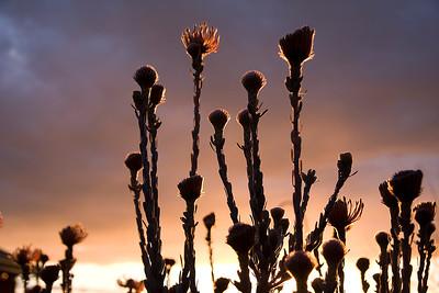 Silhuette of Leucospermum reflexum flowers