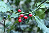 Holly and Berries Highgate Wood. 27 December 2011 <br>