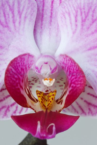 Close up of pink veined orchid flower (Phalaenopsis species)