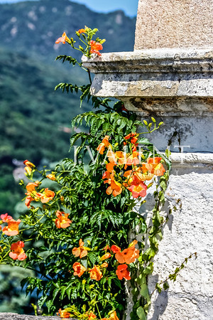 Flowering Vine at Isola Bella