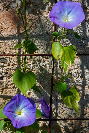 Bloom of Morning Glory at Isola Madre