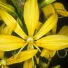 עריוני צהוב, Asphodeline lutea, Yellow Asphodel<br /> 2001, O. Fragman
