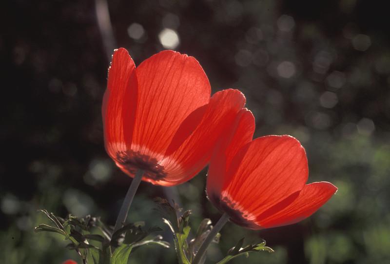 כלנית מצויה, anemone coronaria, Crown Anemone,<br /> Mt Carmel, 15/2/93, O. Fragman
