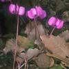 רקפת יוונית, Cyclamen coum, <br /> Round-Leaved Cyclamen, <br /> Mas'ada,Golan Heights, O. Fragman