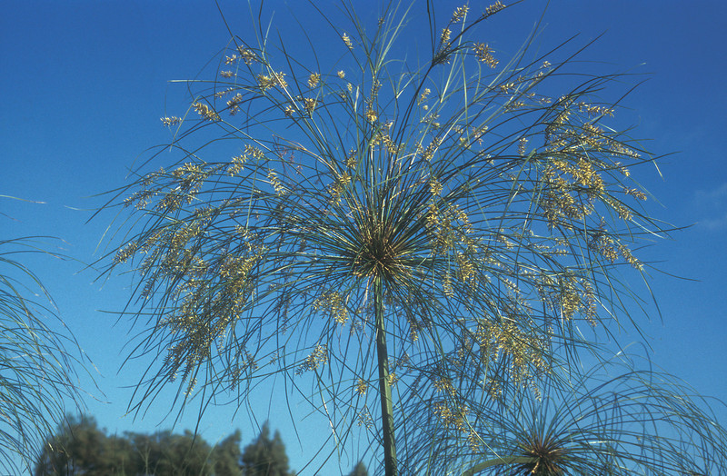Cyperus papyrus<br /> Paper Reed<br /> Sharon - Birket Batich, 16/9/95<br /> O. Fragman