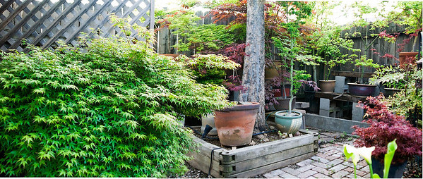 My potted Japanese Maple trees