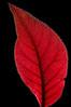 Purple Leaf Plum (leaf backlit)