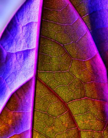 Purple Potato Vine Leaf