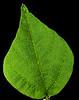Green Bean Leaf