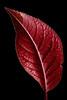 Purple Leaf Plum (leaf front lit)