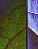 Purple Potato Vine Leaf