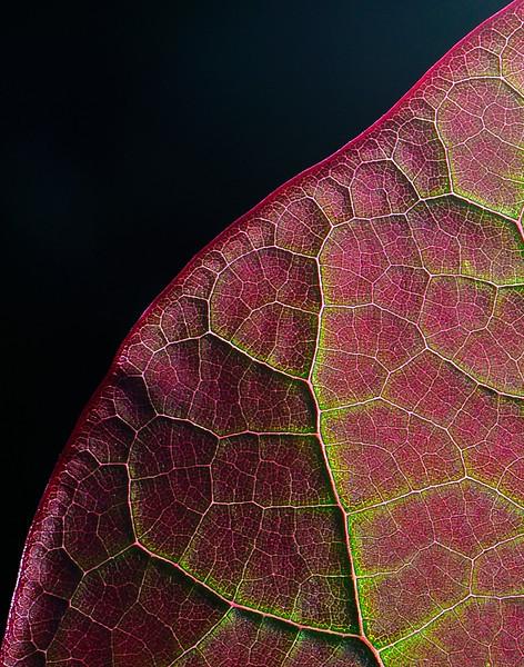 Eastern Redbud leaf