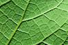 Net Leaf Hackberry frontlit