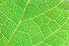 Net Leaf Hackberry leaf backlit