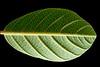 Coffee Berry Leaf