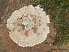 Bull's-eye Lichen, Placopsis gelida