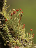 Cladonia macilenta - Lipstick Cladonia