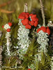 Toy Soldiers, Cladonia belidiflora