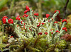 Red Pixie Cup, Cladonia cristatella - Clyde, 9 km east, Alberta