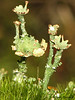 Sieve Lichen, Cladonia multiformis - Clyde, 9 km east, Alberta