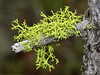 Wolf Lichen, Letharia vulpina - Waterton Lakes N.P., Alberta