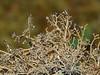 Common Christmas-tree, Sphaerophorus globosus