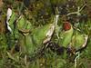 Ruffled Freckle Pelt, Peltigera leucophlebia