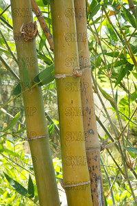 Beechey Bamboo or Clumping Bamboo (Bambusa beecheyana); native to China, at the Jacksonville Zoo and Gardens.