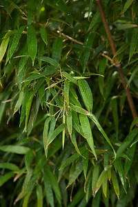 Hale Black Bamboo (Phyllostachys nigra 'Hale'); native to S. China, at the Jacksonville Zoo and Gardens.