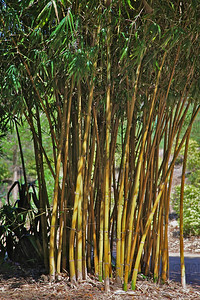Asian Lemon Bamboo (Bambusa eutuldoides 'Viridvittata'), native to China; at the Jacksonville Zoo and Gardens.