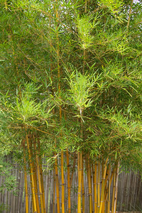 Sunburst Bamboo (Bambusa pervariabilis 'Viridistriatus'); native to China, at the Jacksonville Zoo and Gardens.