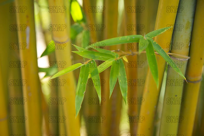Weaver's Bamboo (Bambusa textilis); native to China, at the Jacksonville Zoo and Gardens.