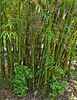 Emerald Bamboo (Bambusa textilis 'Mutabilis'); native to Hainan Island, China, at the Jacksonville Zoo and Gardens.