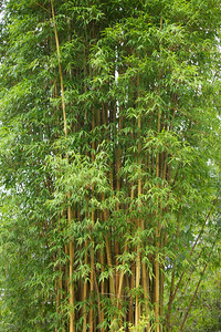 Flavidorivens Bamboo (Bambusa emeiensis 'Flavidorivens'); native to China, at the Jacksonville Zoo and Gardens.